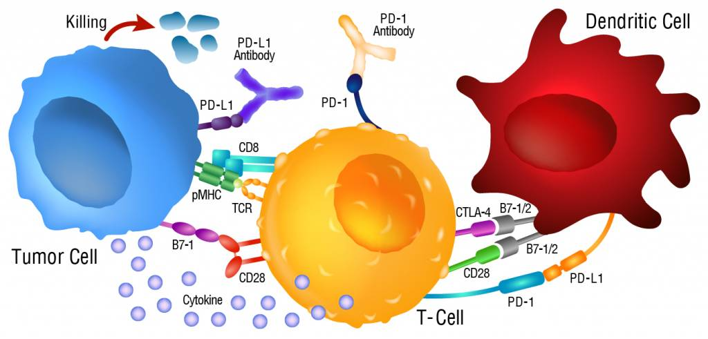 Cancer immunotherapy and the PD-1/PD-L1 checkpoint pathway