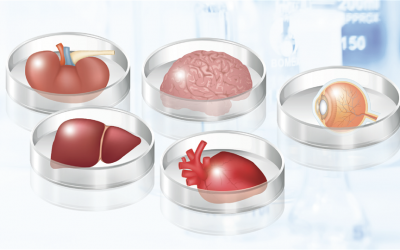 Organoids – Mini organs in a dish